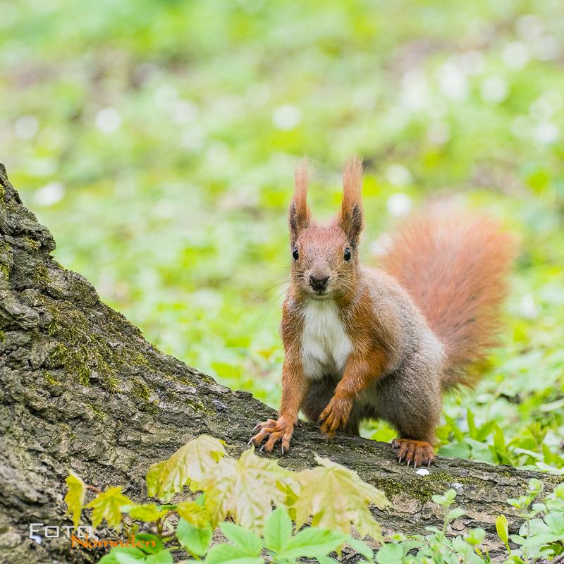 Fotonomaden Querformat oder Hochformat Eichhörnchen
