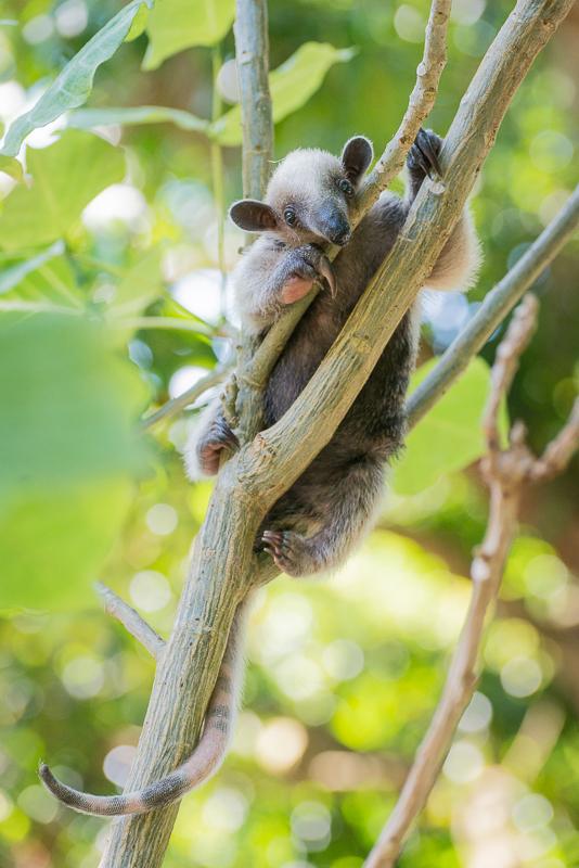 Fotonomaden Tierfotografie Ameisenbär Junges