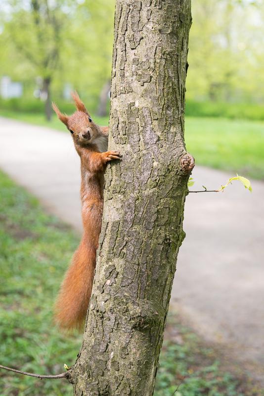 Fotonomaden Tierfotografie Eichhörnchen