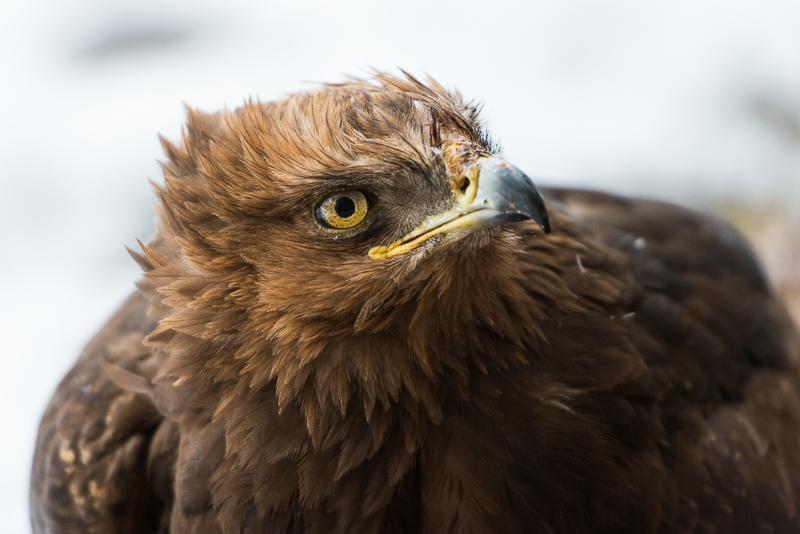 Fotonomaden Tierfotografie Adler