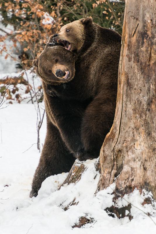 Fotonomaden Tierfotografie Bären
