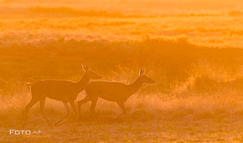 Hirsche im warmen Sonnenuntergangslicht