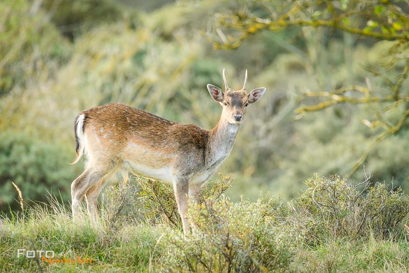 Hirsch vor grünem Hintergrund