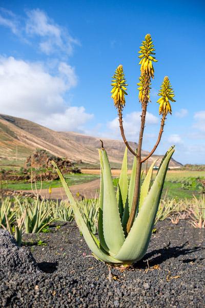 Aloe Vera Pflanze, Lanzarote