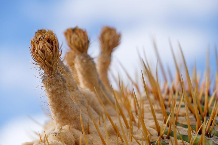Kaktus Nahaufnahme, Lanzarote