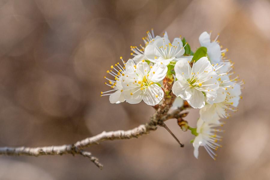 Frühlingsbilder - Mandelblüte, Gran Canaria