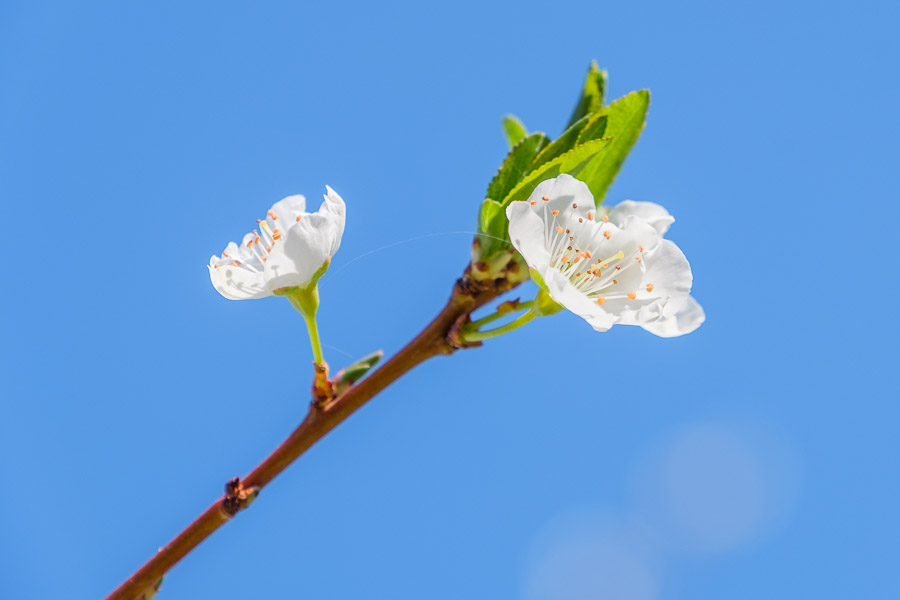 Frühlingsbilder - Mandelblüte mit Himmel, Gran Canaria