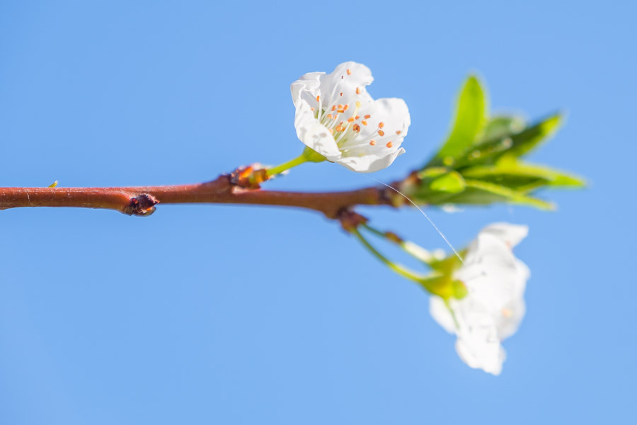 Frühlingsbilder - Mandelblüte