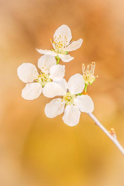 Frühlingsbilder - Mandelblüte Nahaufnahme