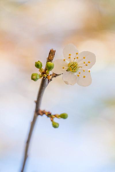 Frühlingsbilder - Mandelblütenzweig