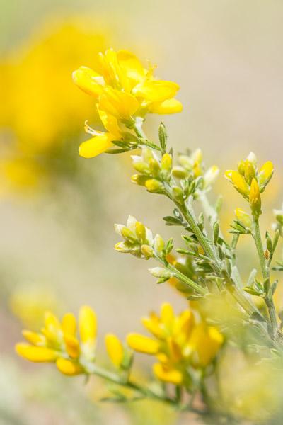 Frühlingsbilder - Ginster Nahaufnahme