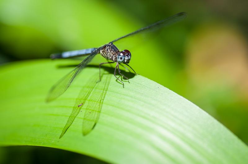 Costa Rica Fotoreise Blaue Libelle auf Blatt im Tortuguero Nationalpark