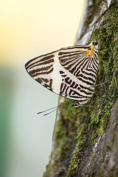 Costa Rica Fotoreise Schmetterling im Tortuguero Nationalpark