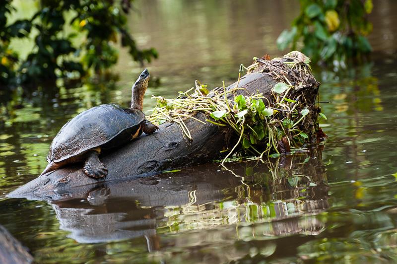 Costa Rica Fotoreise Schildkröte im Tortuguero Nationalpark