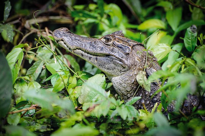 Costa Rica Fotoreise Kaiman im Tortuguero Nationalparkn