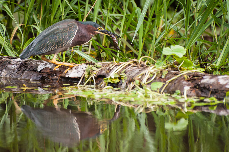 Costa Rica Fotoreise Wasservogel Tortuguero Nationalpark