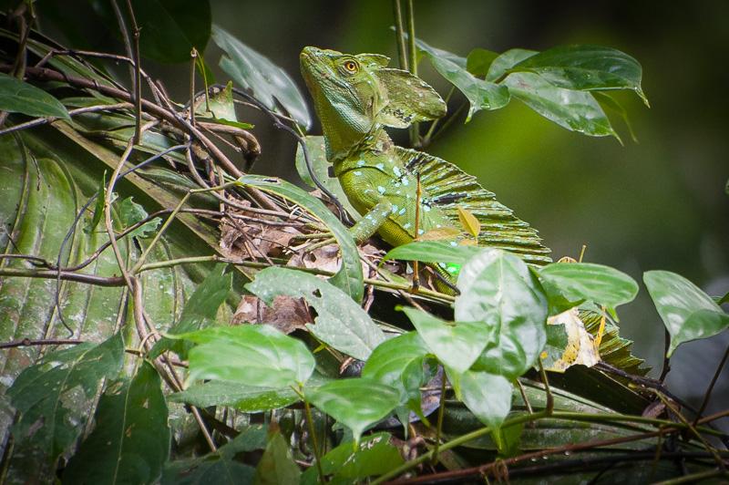 Costa Rica Fotoreise Stirnlappenbasilisk im Tortuguero Nationalpark