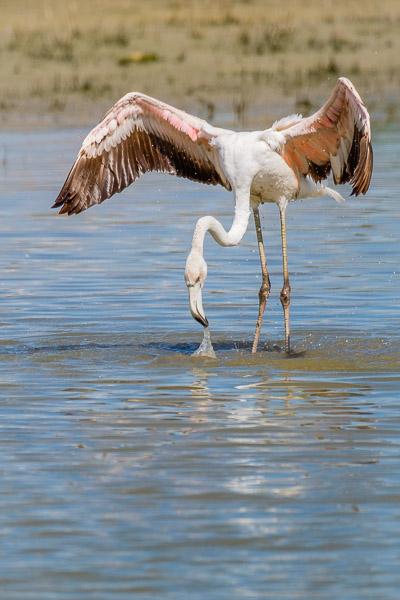 Junger Flamingo in Fuente de Piedra, Andalusien, Spanien