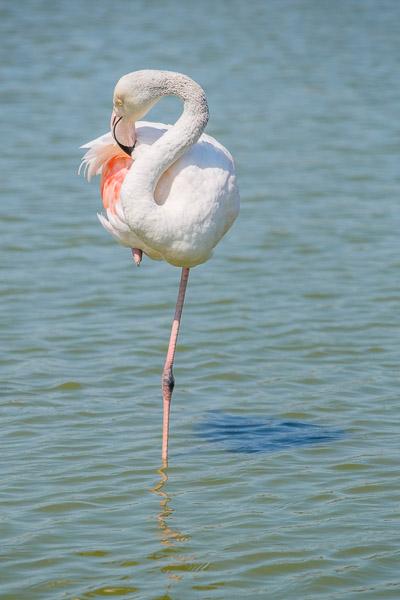 Camargue Flamingos - ein Flamingo im Wasser auf einem Bein