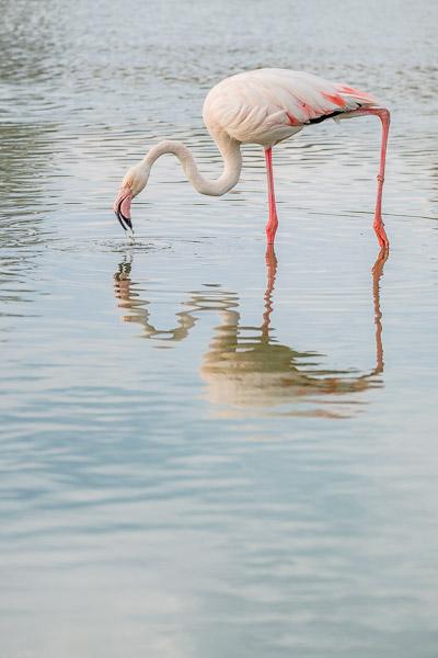 Camargue Flamingos - Flamingo im Wasser mit Spiegelung