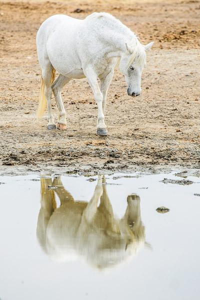 Camargue Pferd mit Spiegelung