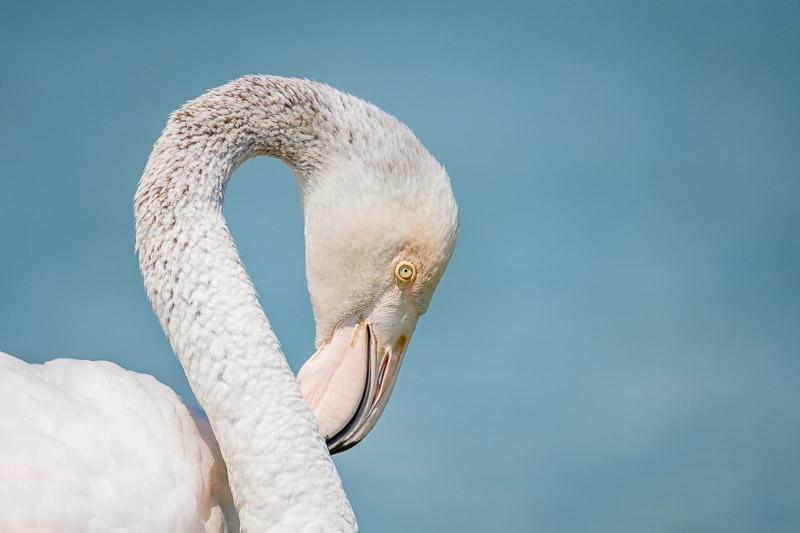 Flamingo Porträt vor blauem Hintergrund