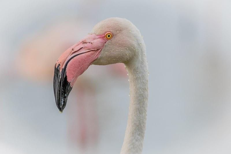 Flamingo Porträt mit Wassertropfen