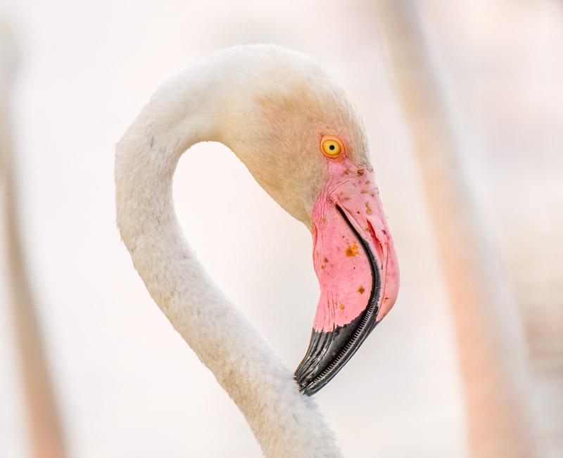 Flamingo Porträt