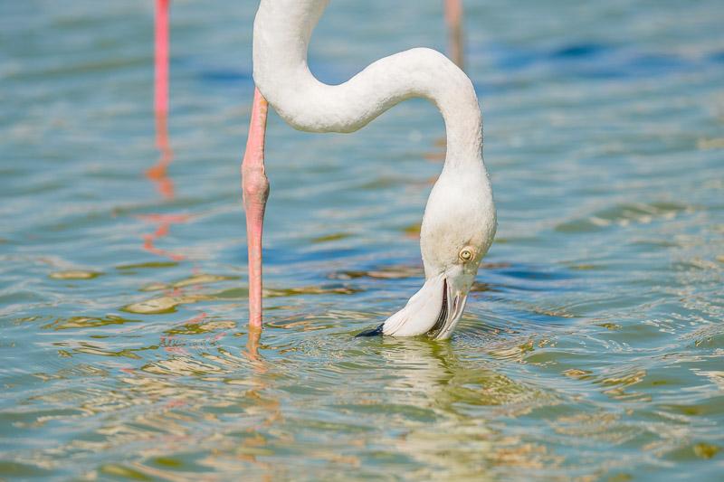 Camargue Flamingos - trinkender Flamingo