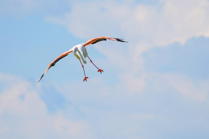 Flamingo im Flug