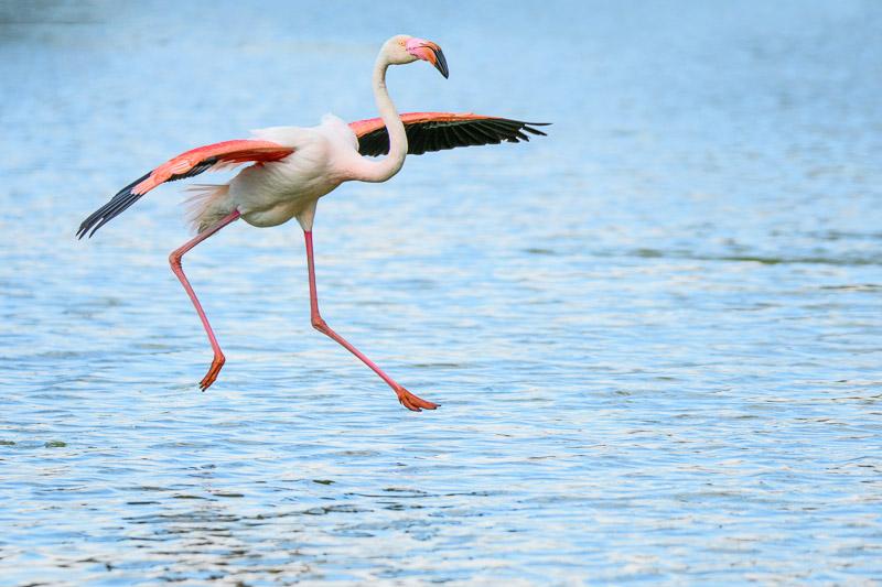 Camargue Flamingos - Flamingo schwebt über dem Wasser