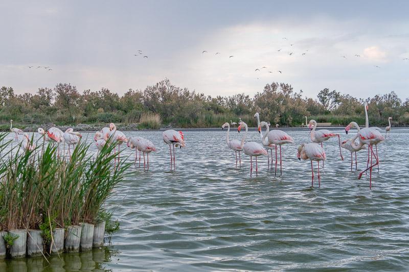 Jede Menge Flamingos im Parc Ornithologique de Pont de Gau