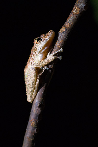 Costa Rica Fotoreise - Frosch Nachtaufnahme