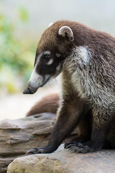 Costa Rica Tierfotografie Nasenbär
