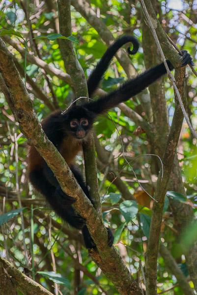 Costa Rica Klammerschwanzaffe im Baum