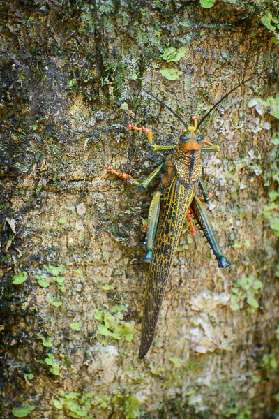 Costa Rica Tierfotografie Heuschrecke