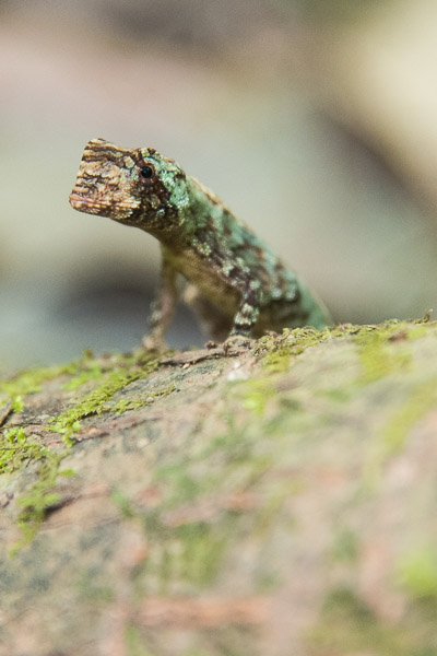 Costa Rica Tierfotografie Echse