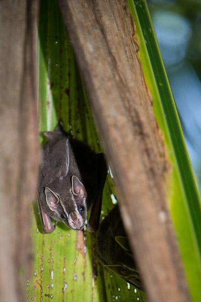 Costa Rica Tierfotografie Fledermaus