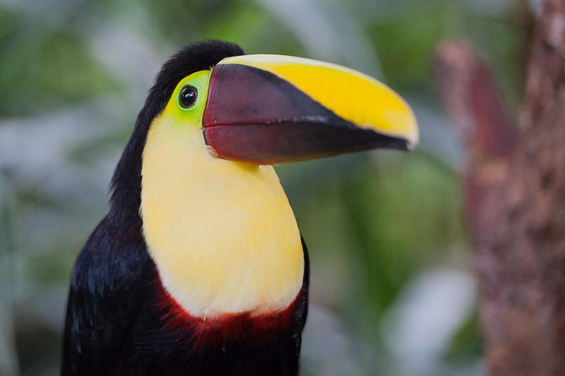 Costa Rica Tierfotografie Braunrücken-Tukan Porträt
