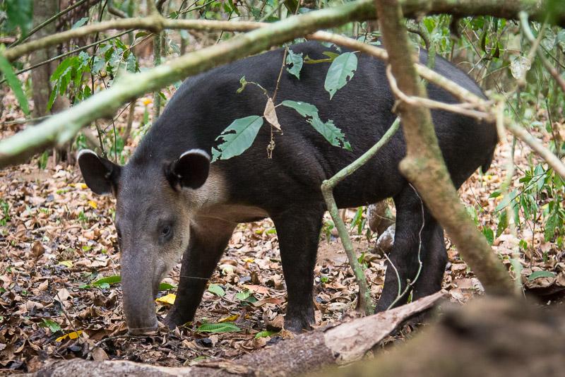 Costa Rica Tierfotografie Tapir Corcovado Nationalpark