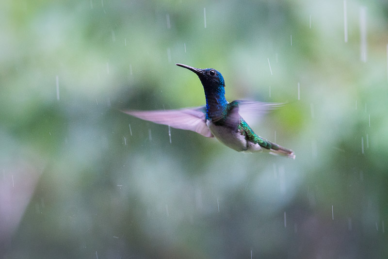 Costa Rica Tierfotografie fliegender Kolibri