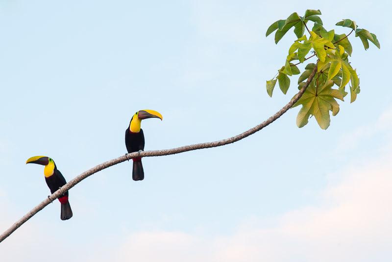 Costa Rica Tierfotografie - Braunrückentukane