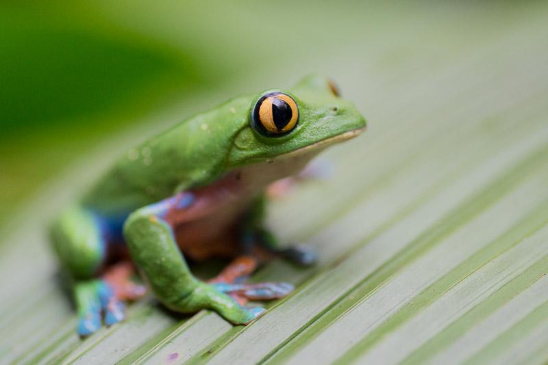 Costa Rica Tierfotografie Frosch