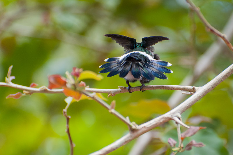 Costa Rica Tierfotografie Vogel von hinten