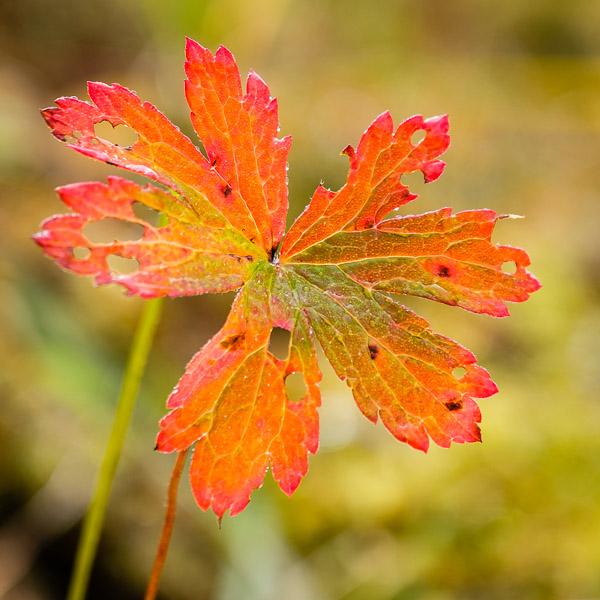 Blatt mit Herbstfärbung