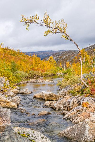 Baum mit Fluß und Herbstwald, Ruska in Lappland