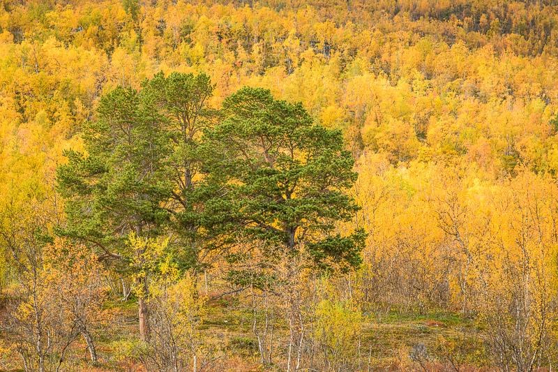 Gelber Herbstwald zur Ruska, Lappland