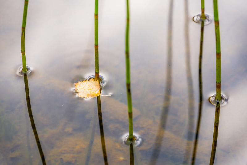 Halme Wasser mit Herbstblättern