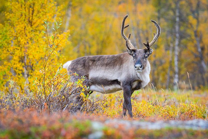 Rentier in Lappland während der Ruska