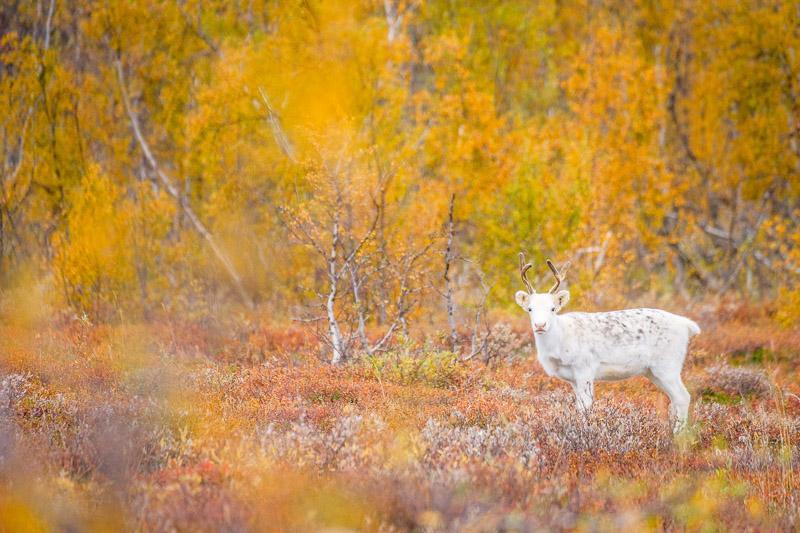 Weißes Rentier im bunten Herbstwald während der Ruska